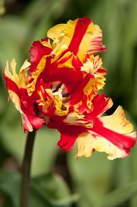 Skagit Tulip Festival-2333