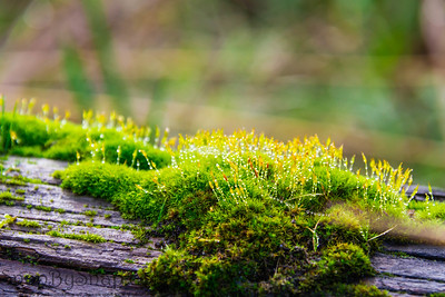 Close up of wet moss on a log with water droplets
