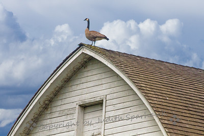 The Barn Goose