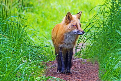 Fox on the Trail - Judith Sparhawk