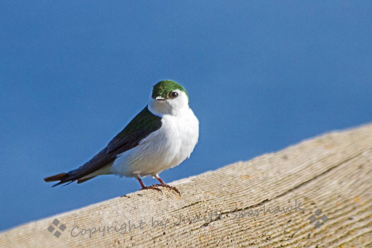 Violet Green Swallow