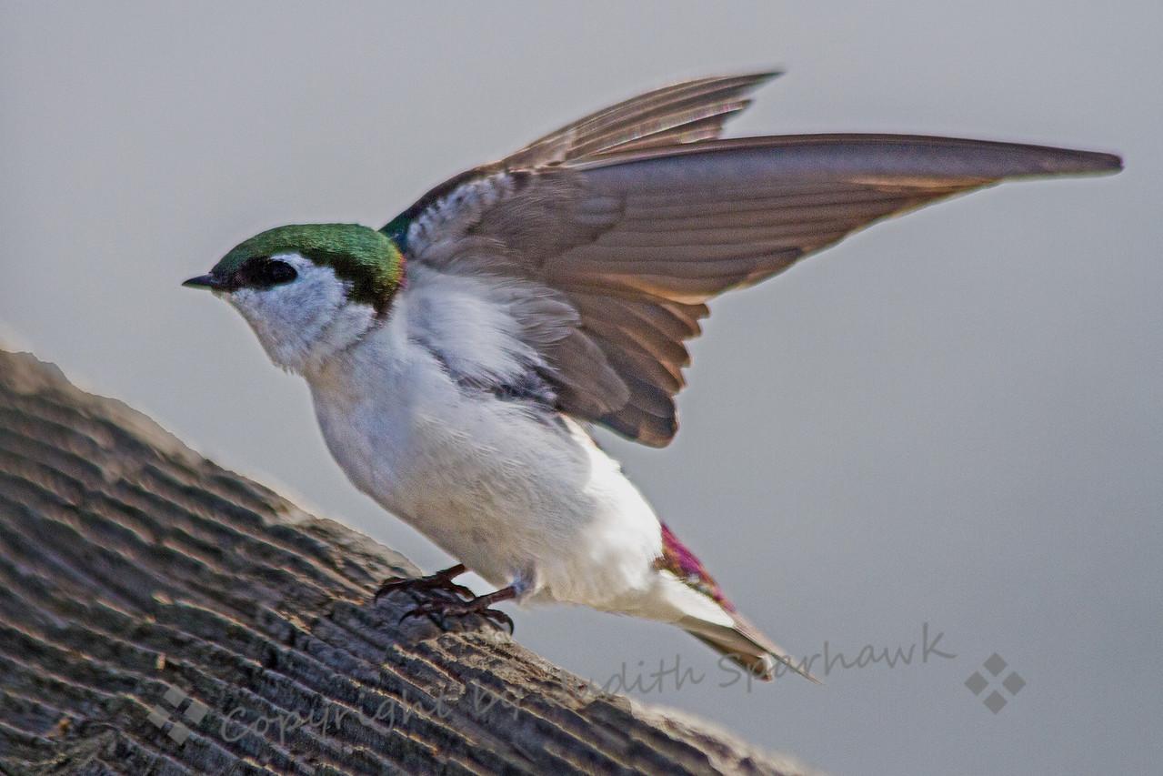 Violet Green Takes Flight