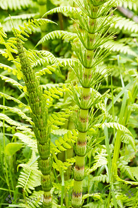 Ferns & Horsetails