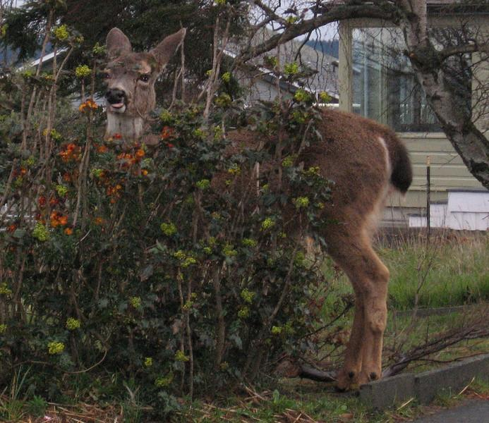 Here's a deer in someone's yard.