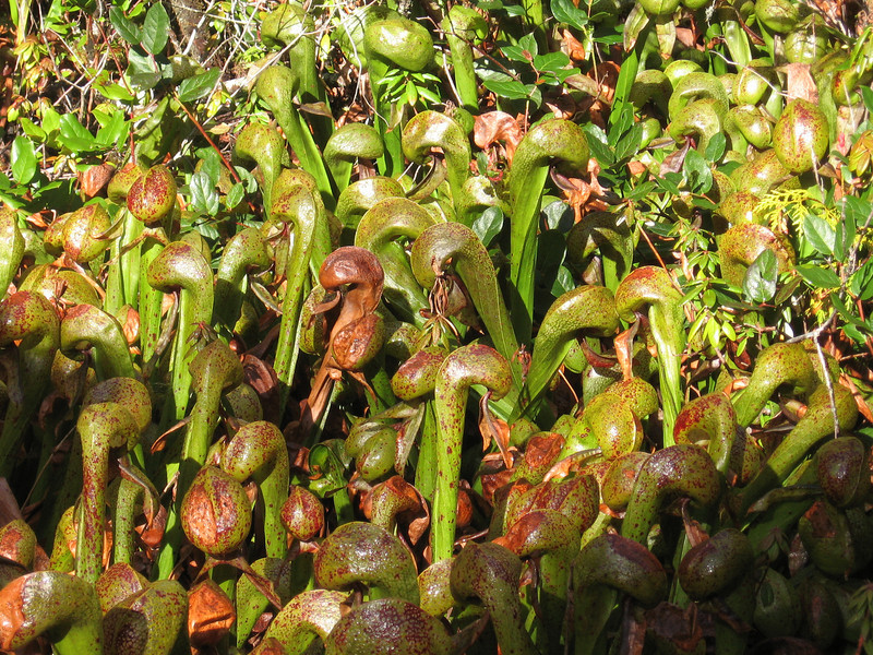 Bev and I left Seattle for Florence, on the Oregon coast, our base for a few more days of amphipod hunting. We went to the Darlingtonia Botanical Wayside, just north of Florence, and admired the pitcher plants.