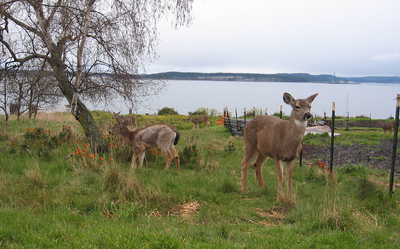 While we were waiting for amphipods to fall into plastic cups, we went into Port Townsend, looked at some art galleries, and had dinner. There were a bunch of deer right in the residential part of town.