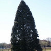 the national christmas tree. even though the white house and the capital have lots of trees at christmas, this is the official tree.