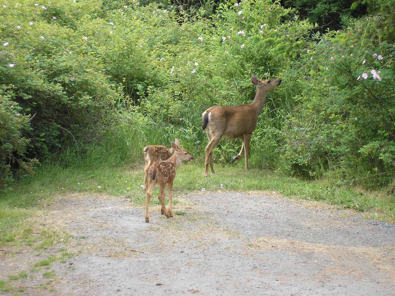 Deer and Twins joined the heard in the spring.