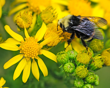Bumble Bee on Yellow flowers