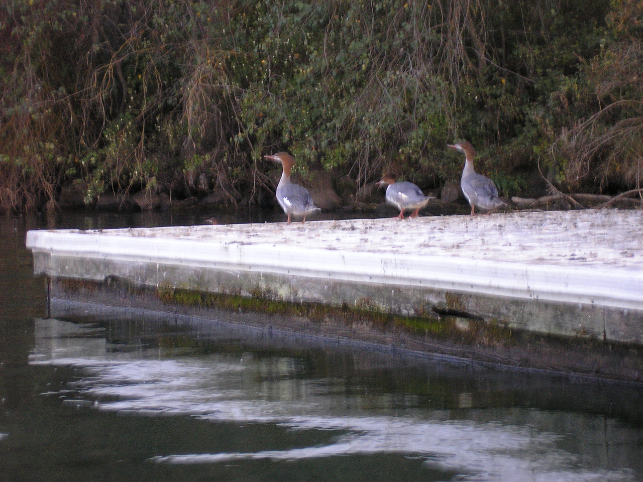 These Ducks are called Common Merganzers.  The female has a red head and the feathers at the back of the head are spiked.