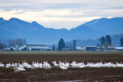 A flock of trumpeter swans, migrating thru Samish Flats. There were hundreds more and I had never seen so many at one time!!!!