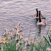 Canada Geese and Goslings - Waterfront Area - Seattle, WA  5-29-98