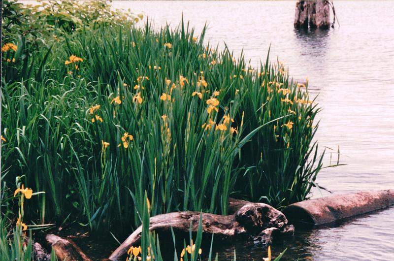 Water Irises - Waterfront Area - Seattle, WA  5-29-98