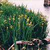 Water Irises - Waterfront Area - Seattle, WA  5-29-98