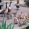 Canada Geese and Babies -  Maritime Heritage Center - Center For Wooden Boats - Seattle, WA  5-29-98