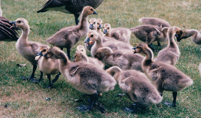 Gaggle of Goslings at Maritime Heritage Center - Center For Wooden Boats - Seattle, WA  5-29-98