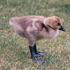 Canada Gosling at Maritime Heritage Center - Center For Wooden Boats - Seattle, WA  5-29-98<br /> Looks like he has high boots on.