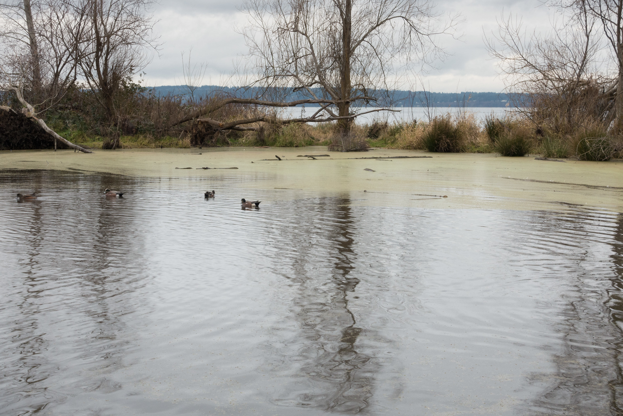 20151226.  Duck pond in Golden Gardens Park at end of Burke Gilman Trail, Seattle WA.