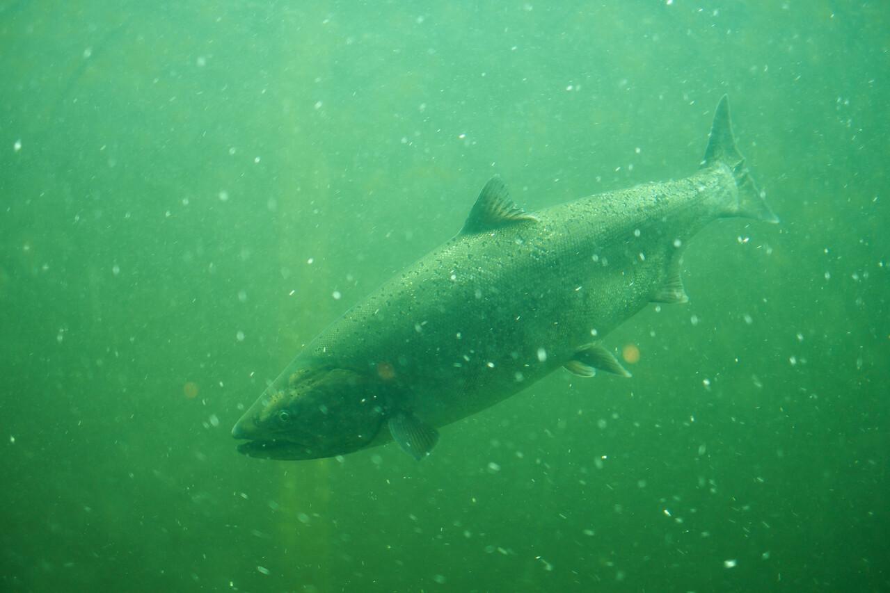 15 August 2013.  Salmon passing through Ballard Locks, Seattle WA.