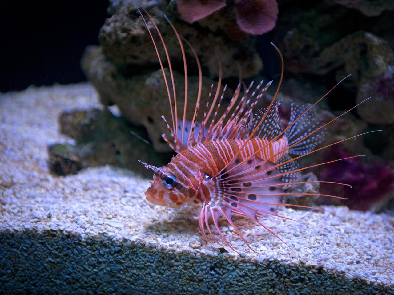 28 December 2013.  Lionfish in Seattle Aquarium.
