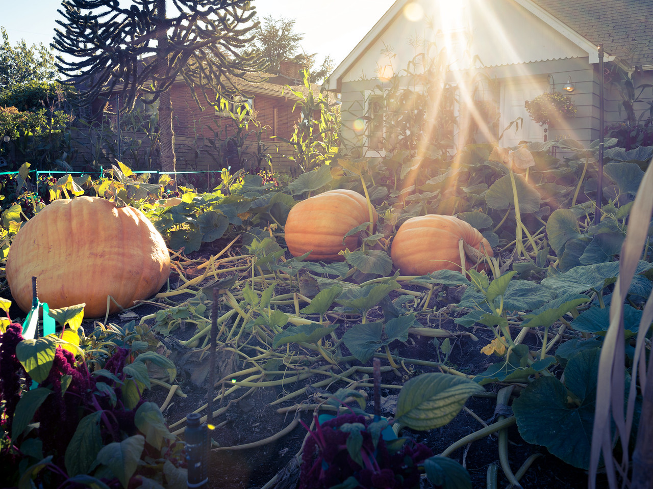 20160922.  Pumpkin House in Magnolia District of Seattle WA.
