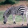 Zebra - Olympic Game Farm, Sequim, WA  - May 1998