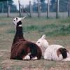 Llamas Lying Down - Olympic Game Farm, Sequim, WA  - May 1998