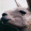Llama Profile - Olympic Game Farm, Sequim, WA  - May 1998
