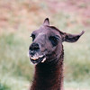 Smiling Llama - Olympic Game Farm, Sequim, WA  - May 1998