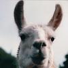 Llama Face - Olympic Game Farm, Sequim, WA  - May 1998