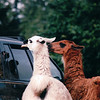Llamas - Olympic Game Farm, Sequim, WA  - May 1998