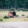 Bison - Olympic Game Farm, Sequim, WA  - May 1998