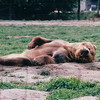 Lounging Bear - Olympic Game Farm, Sequim, WA  - May 1998