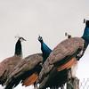 Peacocks - Olympic Game Farm, Sequim, WA  - May 1998