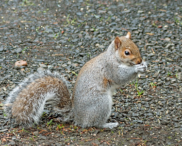 Grey Squirrel, Male