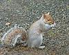 Grey Squirrel, Male