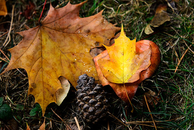 Maple Leaves and Pinecone - Seattle - Washington Travel Photography - USA