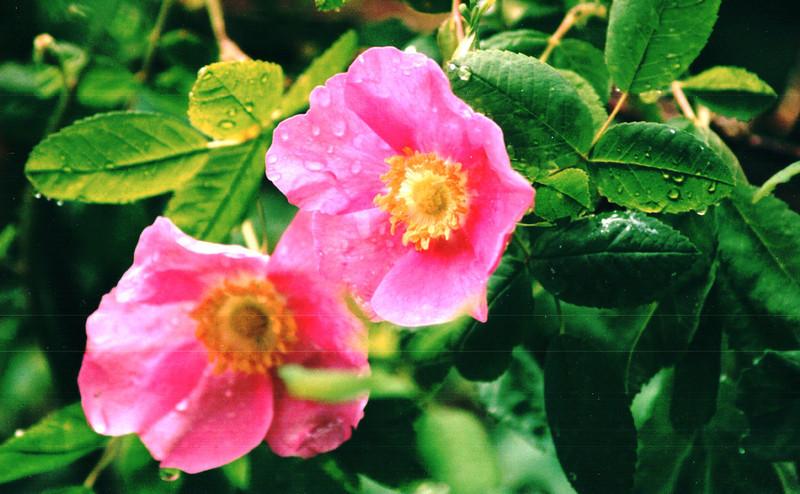 Flowers Along the Way - Washington State - May 1998