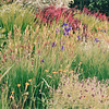 Meadow of Wildflowers - Bellevue Botanical Garden  5-29-98