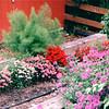 Beside the Barn - Bellevue Botanical Garden  5-29-98