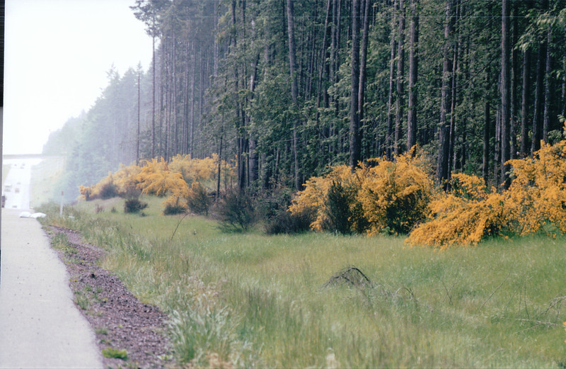 Golden Color Everywhere on Washington State Highways - May 1998