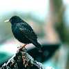 European Starling - Washington State - May 1998