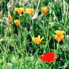 Poppies - Bellevue Botanical Garden  5-29-98