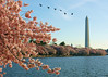 Geese flying over the cherry trees in front of the Washington Monument.