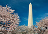 Washington Monument from behind the Cherry Blossoms.