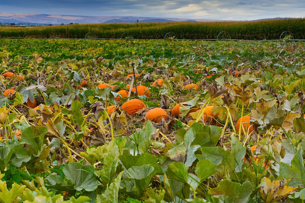 Pumpkin field, Country Mercantile, Pasco, Washington