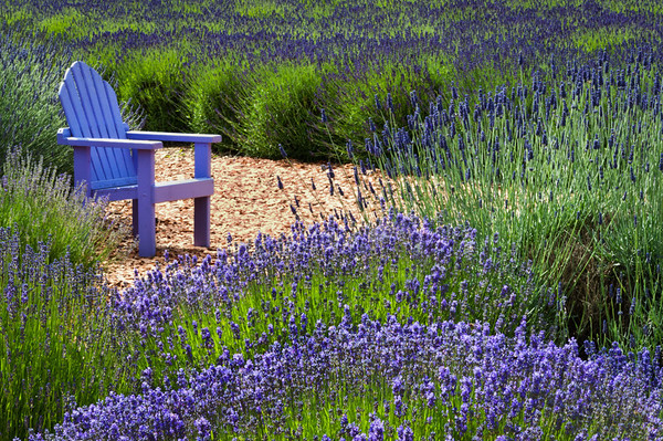 Purple Haze Lavender Farm, Sequim, Washington.