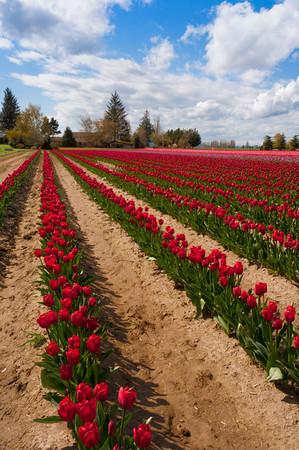 Tulip fields, Skagit county, Mt. Vernon, WA.