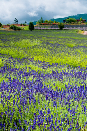 Purple Haze Lavender Farm fields, Sequim, Washington.