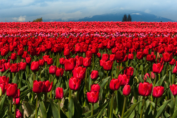 Tulip fields near Mt. Vernon, WA.